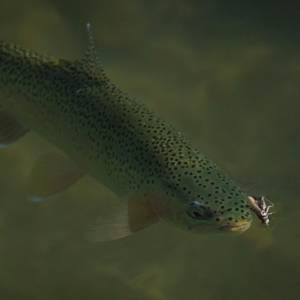 josh_nugent_how_to_fly_fish_for_trout