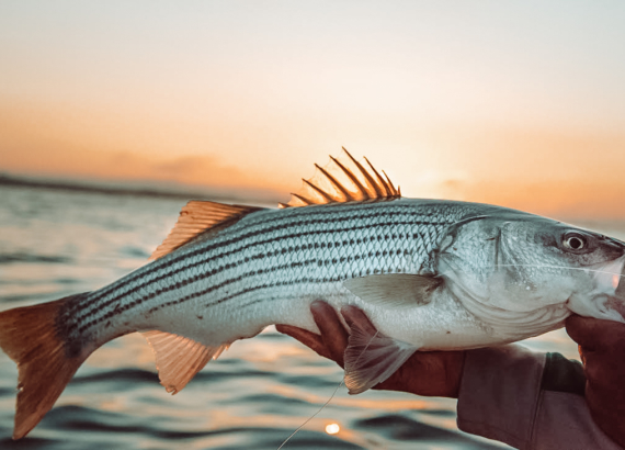 Striper fishing guide association