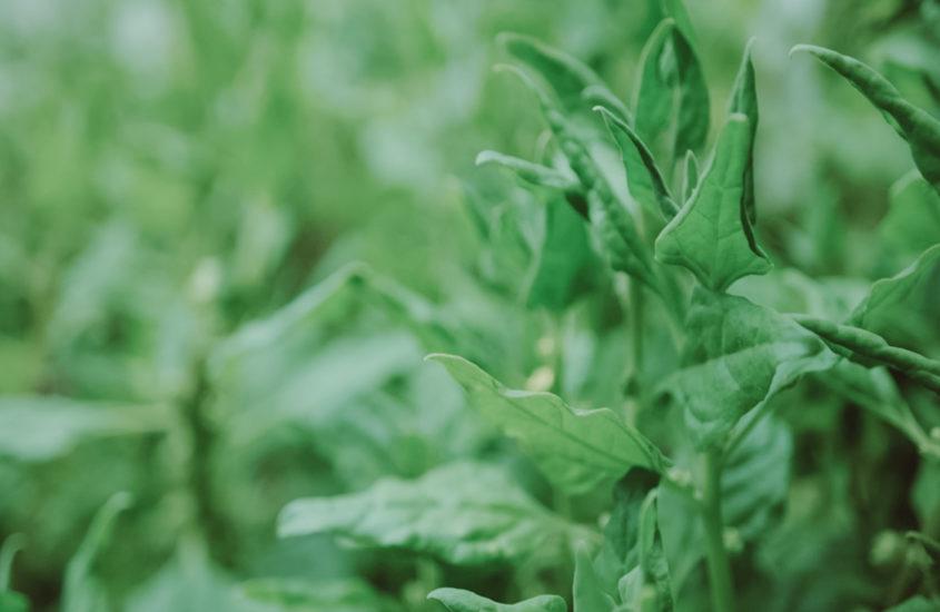 Warrigal Greens