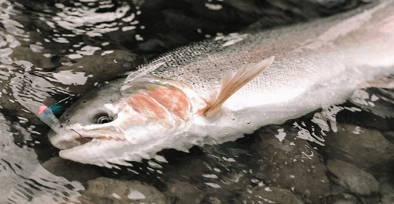 washington_bans_fishing_for_steelhead_from_a_boat